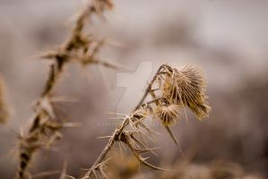 Cold Thistles III by carbyville