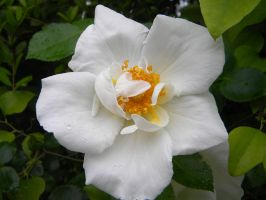 Rosa Silver Moon by TheLordTaxus