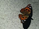 Painted Lady Butterfly by Soll-DenneGallery