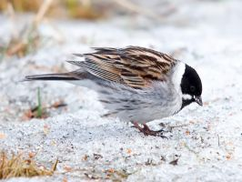 Reed Bunting 01 by nordfold