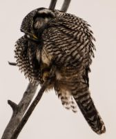 Northern hawk-owl - Nap Time by JestePhotography