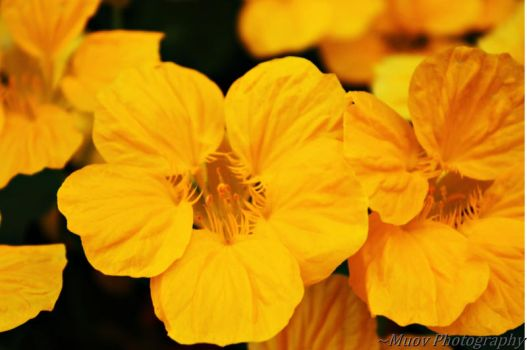 Joy and Yellow by Muov