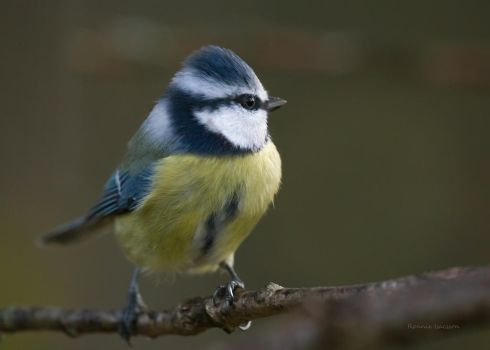 Close to a Blue tit in the late evening by roisabborrar