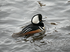 Male Hooded Merganzer Visit by Mogrianne