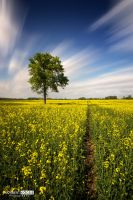 Rape field and the tree by NorbertKocsis