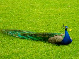Peacock at Alcazar Palace 3 by Nadia354