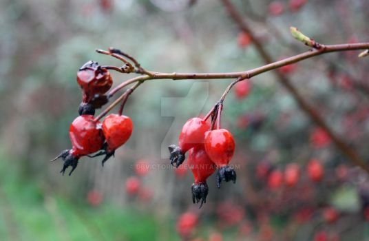 Red Berries by dbvictoria