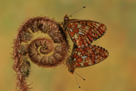 pearl-bordered fritillarys by bugalirious-STOCK