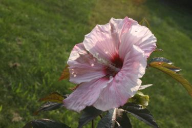 Hibiscus 4 by ma8201