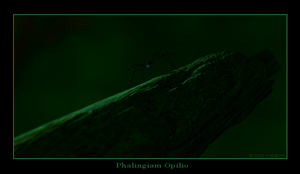 Harvestman At Night - Bright by pntbll248
