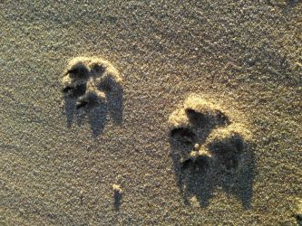 paw prints by chasing-sandcastles