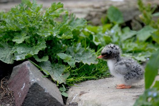 Arctic Tern Chick Profile by Shadow-and-Flame-86