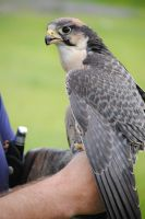 Lanner Falcon by FeatheredSamurai