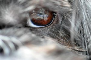 The Eye of the Shih Tzu by cyspence