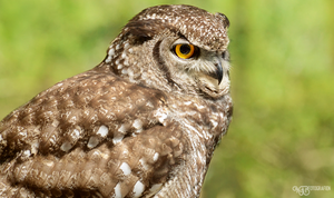 Zoo - Spotted eagle-owl by NFB-Stock