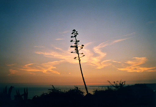 Agave Flower and Sunset Sky by AViCo