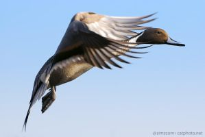 Flying Pintail by simzcom