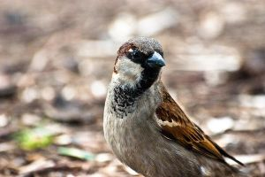 Male Sparrow by ValdesBG