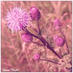 Spear Thistle (18.10.13) by Foxy-Poptart