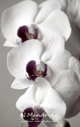 Orchid by darks
