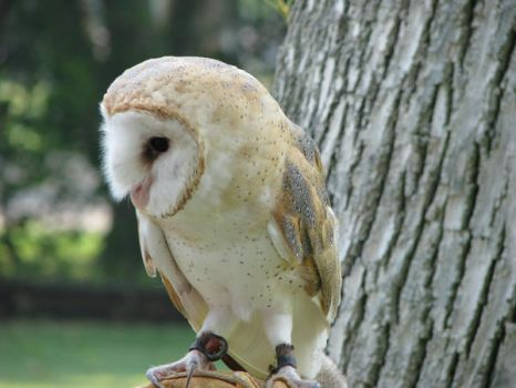 Barn owl 8 by CRStock