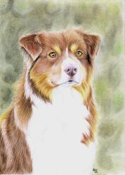 Drawing: Australian Shepherd by xClarXCheex