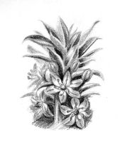 Pineapple Lily by LoVeras