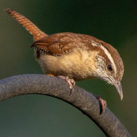 Carolina Wren 002 by Elluka-brendmer