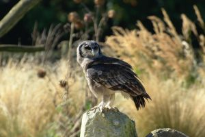 Milky Eagle Owl, 2 by FurLined