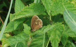 Ringlet at Rest by moonhare77