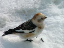 snow bunting 2 by LucieG-Stock