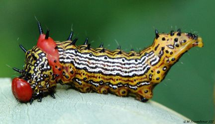 Red Humped Appleworm caterpillar by natureguy