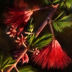 Fairy Duster Blossoms by slkendall