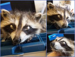 Raccoon Kit Softmount WIP by ToothNClawTaxidermy