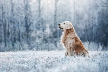 Golden Retriever. Sarov, Russia. by AnnaTyurina