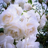 White Roses by gaborcsigas