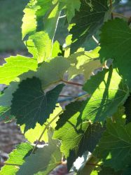 Grape Leaves_Golden Light by Littlelion225