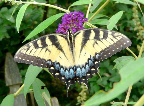 Eastern Tiger Swallowtail by duggiehoo