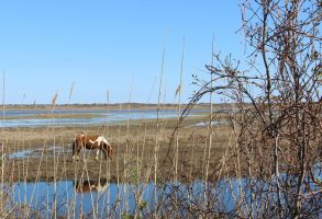 Chincoteague Horse by usedbooks