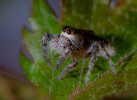 Jumping Spider 001 by Elluka-brendmer