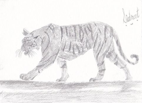 Full Body Tiger Anatomy Practice [Update] by Sidrat-Habib