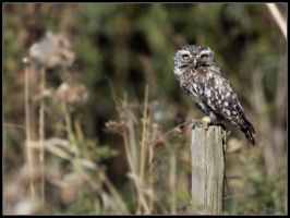Little Owl by cycoze