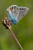 Common Blue by MvanMelsen