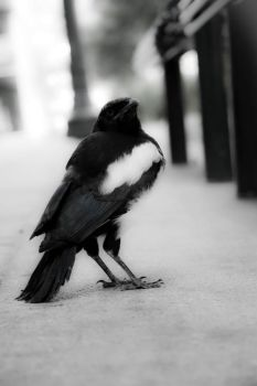Magpie by joshoshua