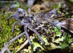 Wolf Spider by BreeSpawn