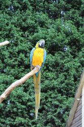 macaw 1 by ditney