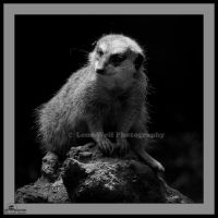 Meerkat in Black and White by LoneWolfPhotography