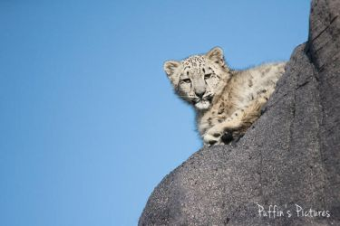 Curious Snow Leopard Cub by tuftedpuffin