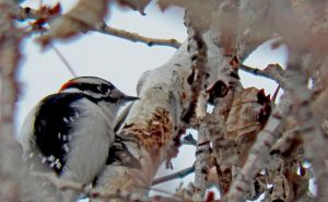 2018 January 24 1205.  Downy Woodpecker in Poplar by AAAHartvisen