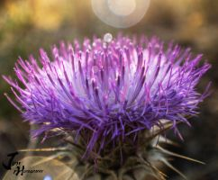 Thistle by Jonathan-Flash